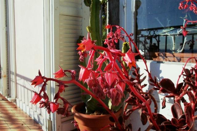 Floraison des Echeveria Echeve14