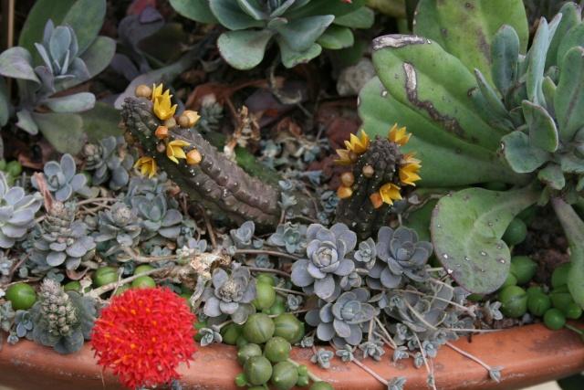 Echidnopsis cereiformis en fleurs Echidn10