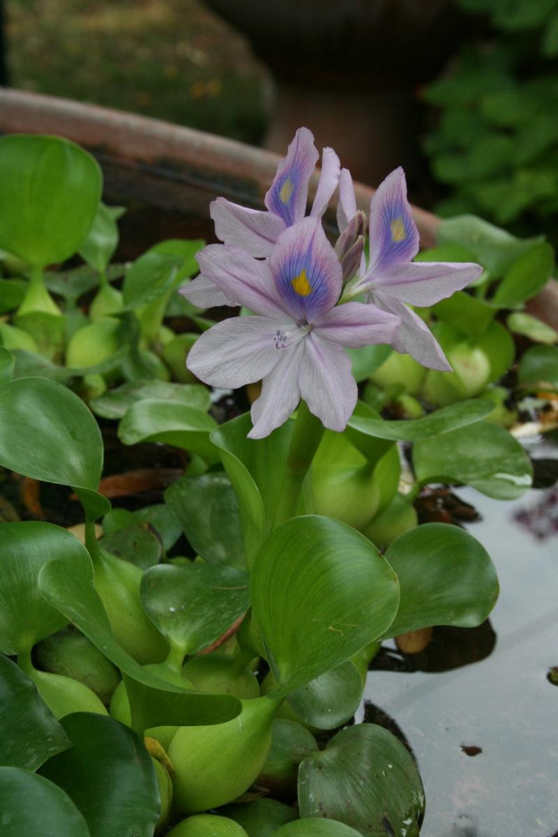 Jacinthe d'eau ( Eichornia crassipes ) première fleur Eichor13