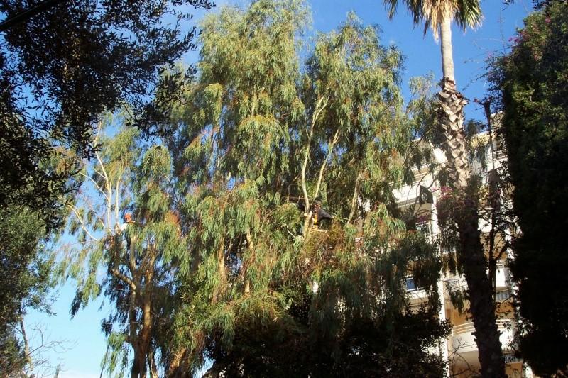 Eucalyptus globulus impressionnant Elagua10