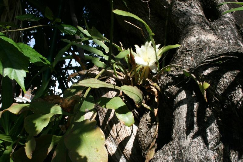 Epiphyllum oxypetalum en plein jour Epiphy25
