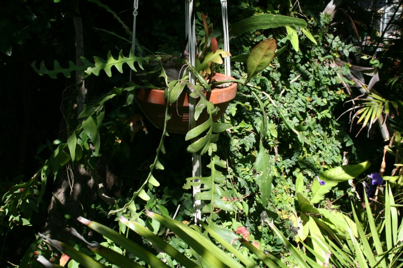 Bouture parfumée épiphyllum  Epiphy36
