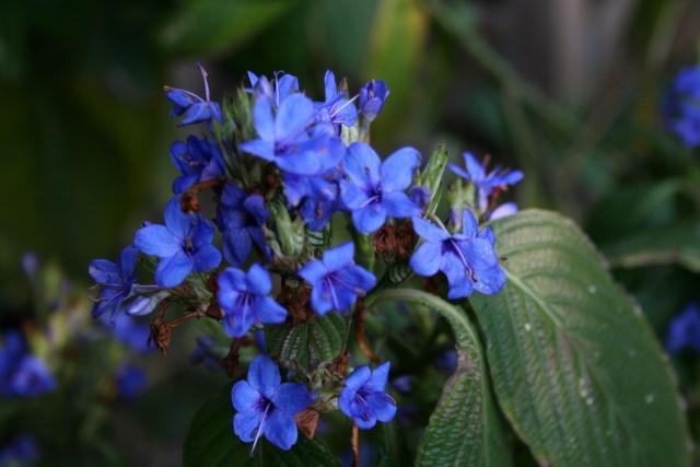 Un peu de bleu dans le jardin Eranth11