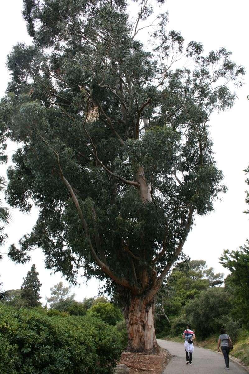 Eucalyptus globulus impressionnant Eucaly11