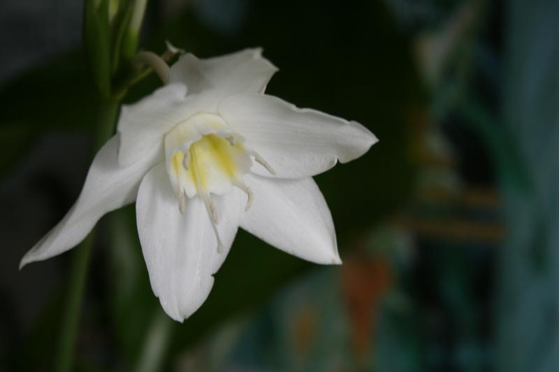 Un beau bulbe amazonien: Eucharis grandiflora Euchar12