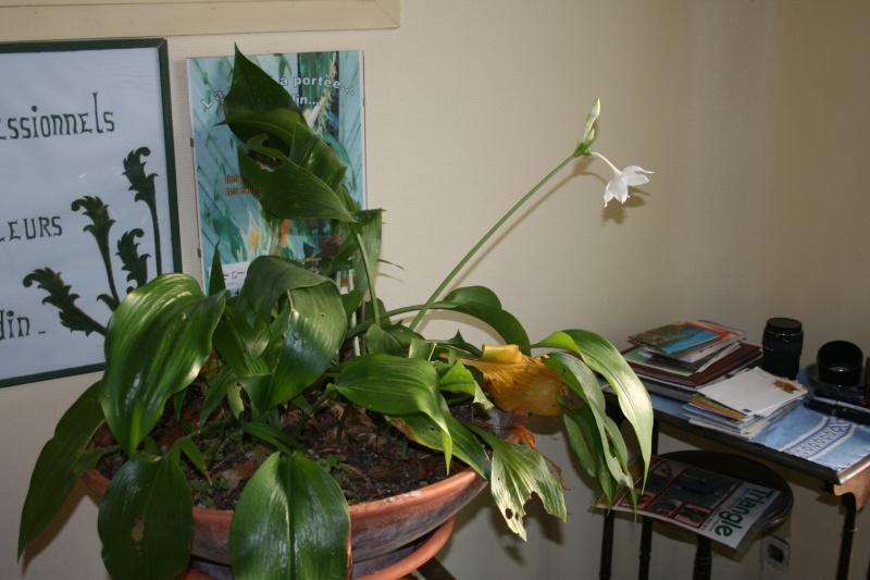 Un beau bulbe amazonien: Eucharis grandiflora Euchar13