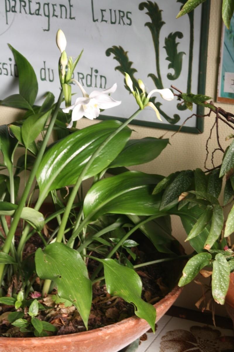 Eucharis grandiflora , mon lis de Noel Euchar14
