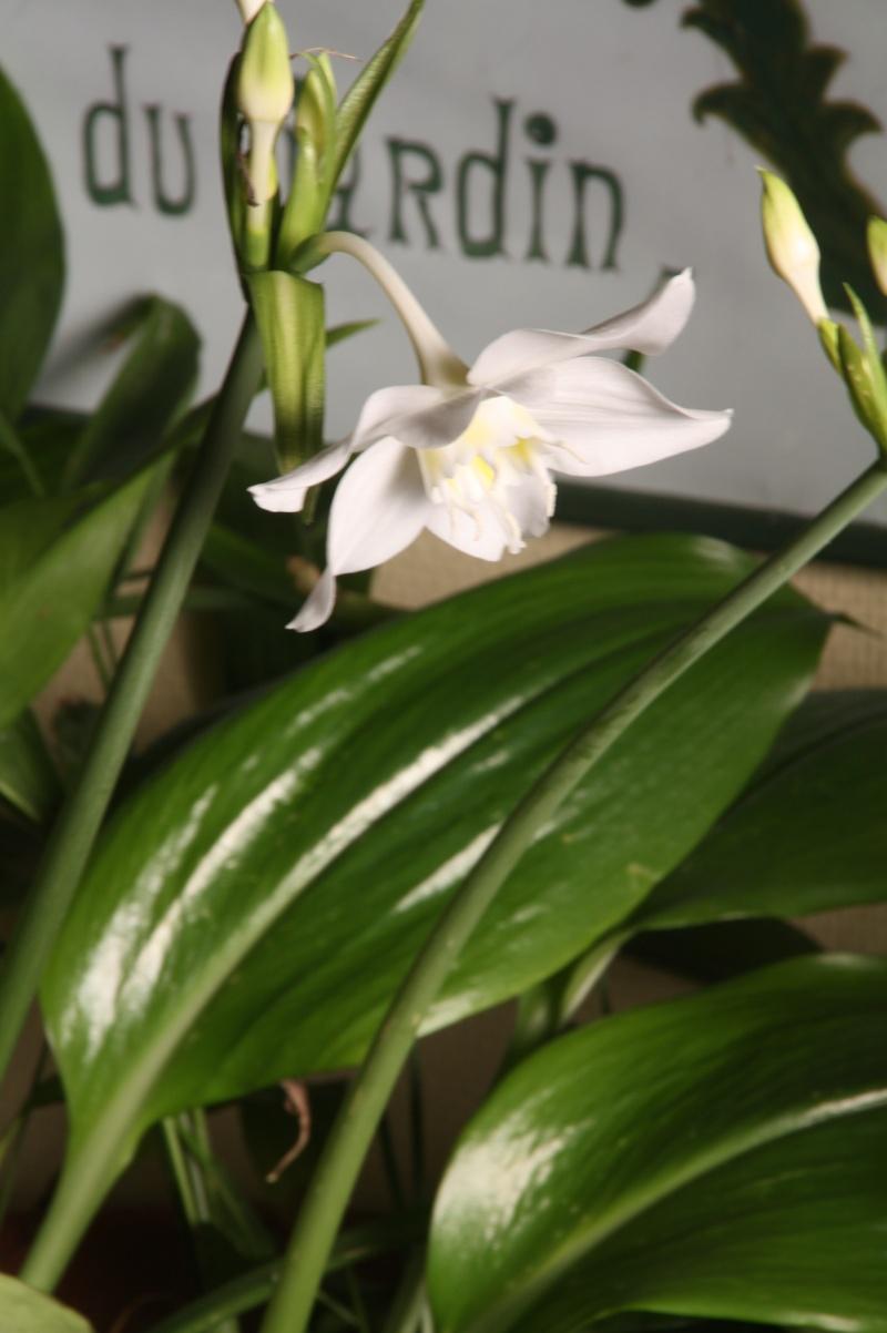 Eucharis grandiflora , mon lis de Noel Euchar15
