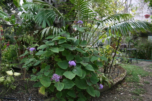 Un peu de bleu dans le jardin Eupato10