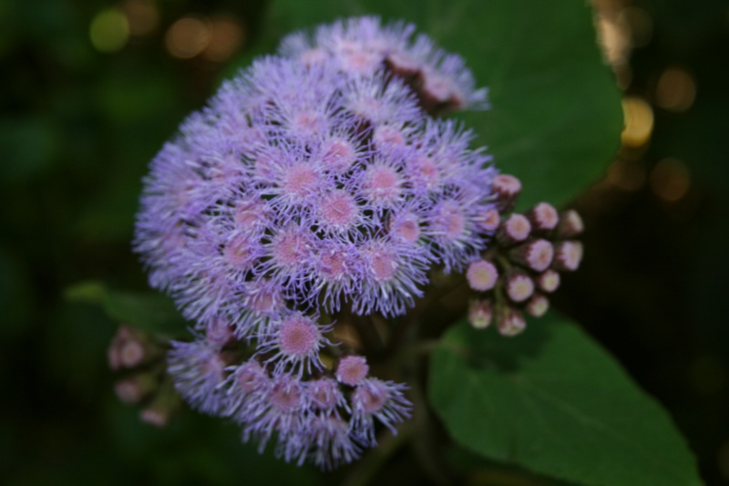 Barttletina sordida sorte d'Ageratum géant, on entre dans sa période de floraison Eupato17