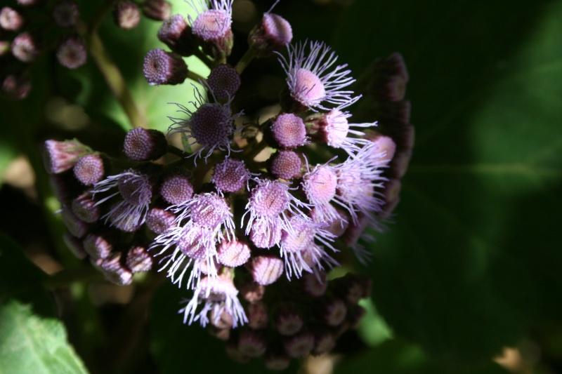 Barttletina sordida sorte d'Ageratum géant, on entre dans sa période de floraison Eupato18
