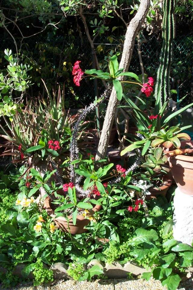Euphorbia milii (Epine du Christ) Euphor10
