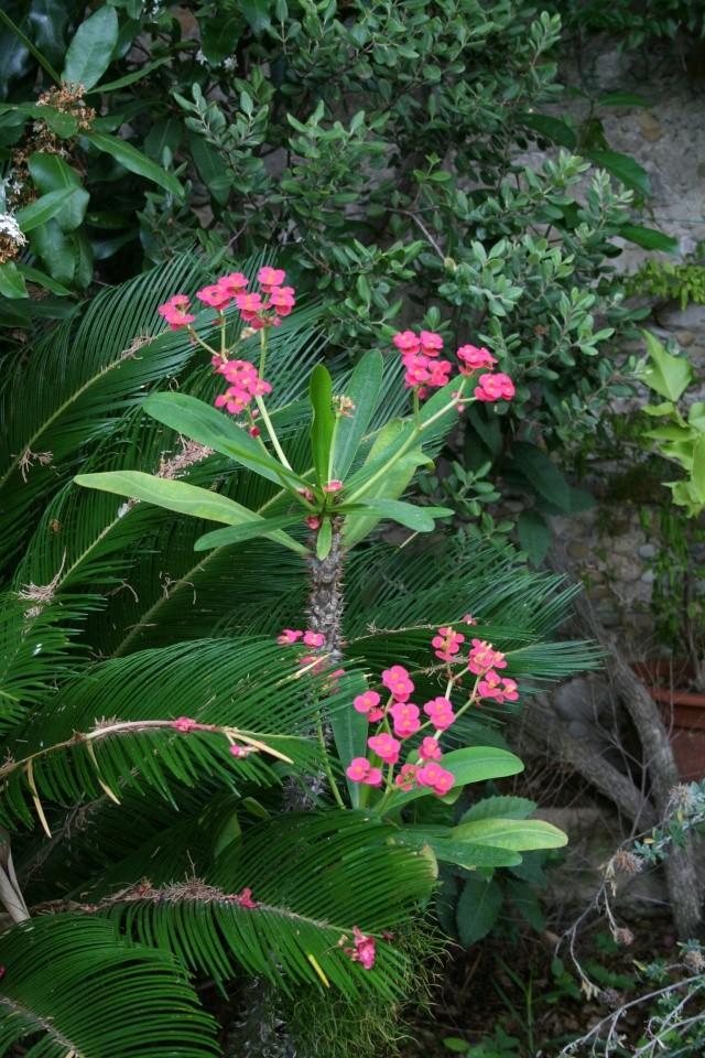 Euphorbia milii (Epine du Christ) Euphor12