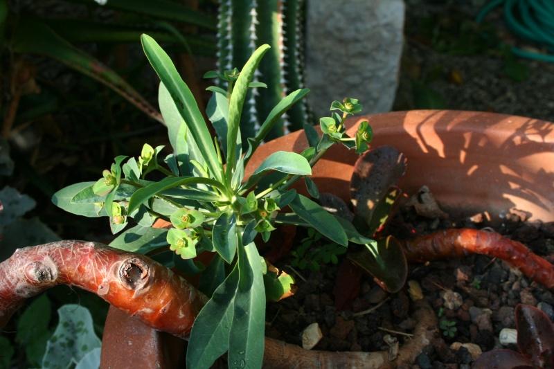 EUPHORBIA  ......QUI ?  15 jours + tard : PHOTO  (Euphorbia bubalina ) Euphor26