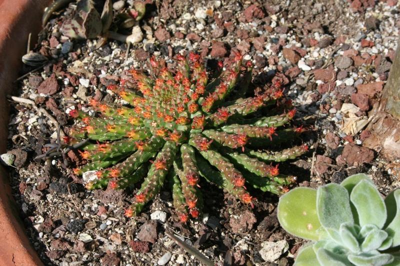 euphorbia gorgonis Euphor40