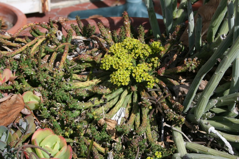 euphorbia gorgonis Euphor41