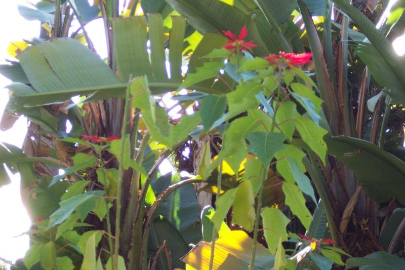 Poinsettia qui fait la tête Euphor44