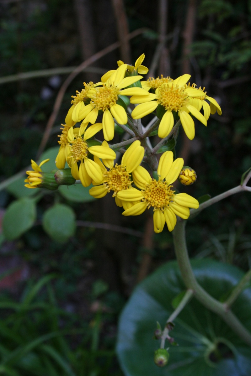Farfugium japonicum  ( ex Tussilago jampnicum ) Farfug13