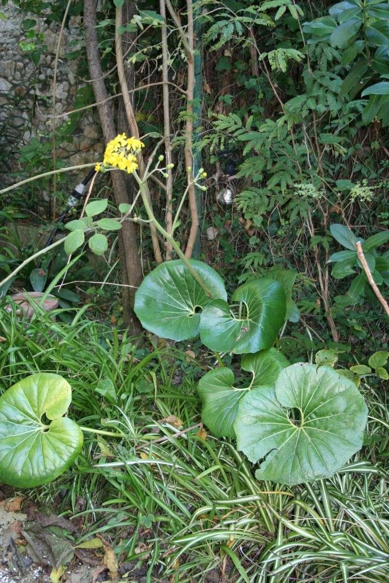 Farfugium japonicum  ( ex Tussilago jampnicum ) Farfug14