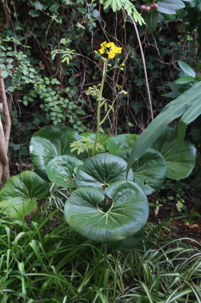 Farfugium japonicum, vraiment décorative... et rustique Farfug18
