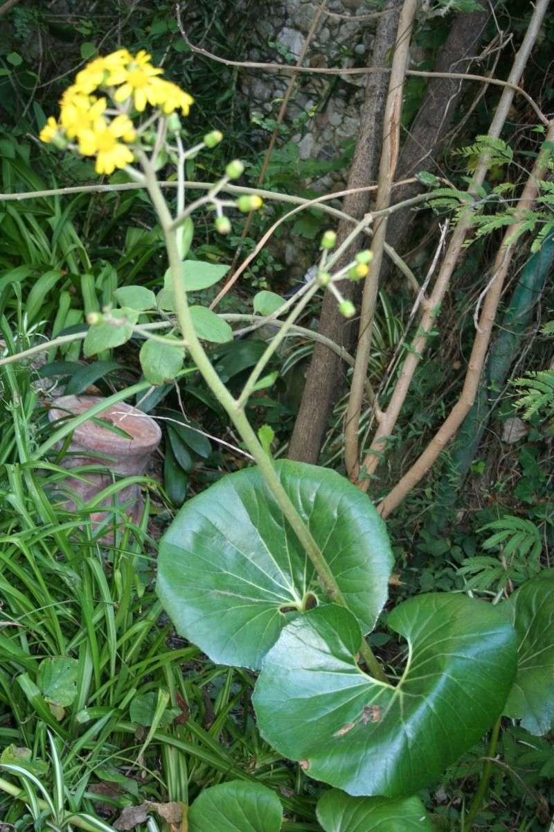 Farfugium japonicum, vraiment décorative... et rustique Farfug19