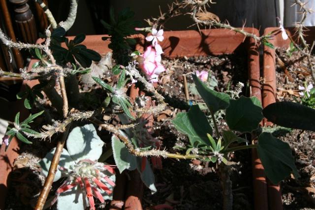 Des fleurs sur mes succulentes frileuses Florai10