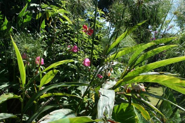 Hibiscus pallustris Florai11
