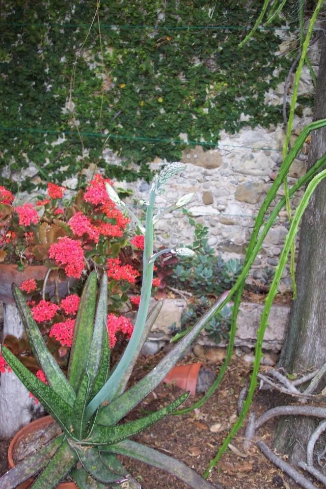 Taille d'une hampe florale Gaster10