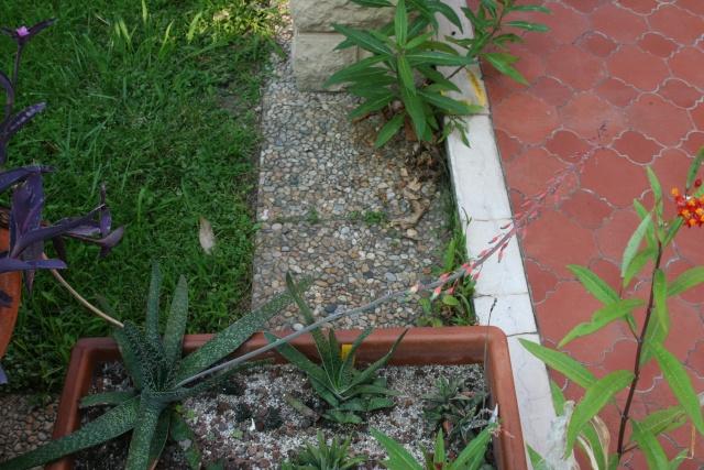 Taille d'une hampe florale Gaster11