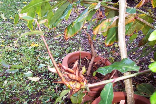 Hedychium greenei Hedych16