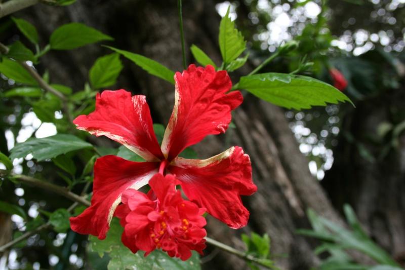 Hibiscus ' El Capitolo ' Hibisc28