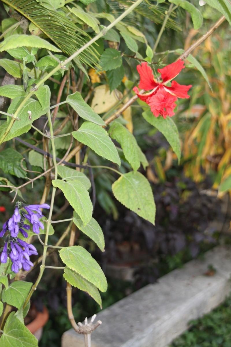 quelle sauge ? [Salvia concolor] Hibisc36