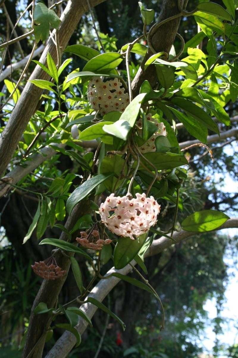 Hoya carnosa au naturel Hoya_c16