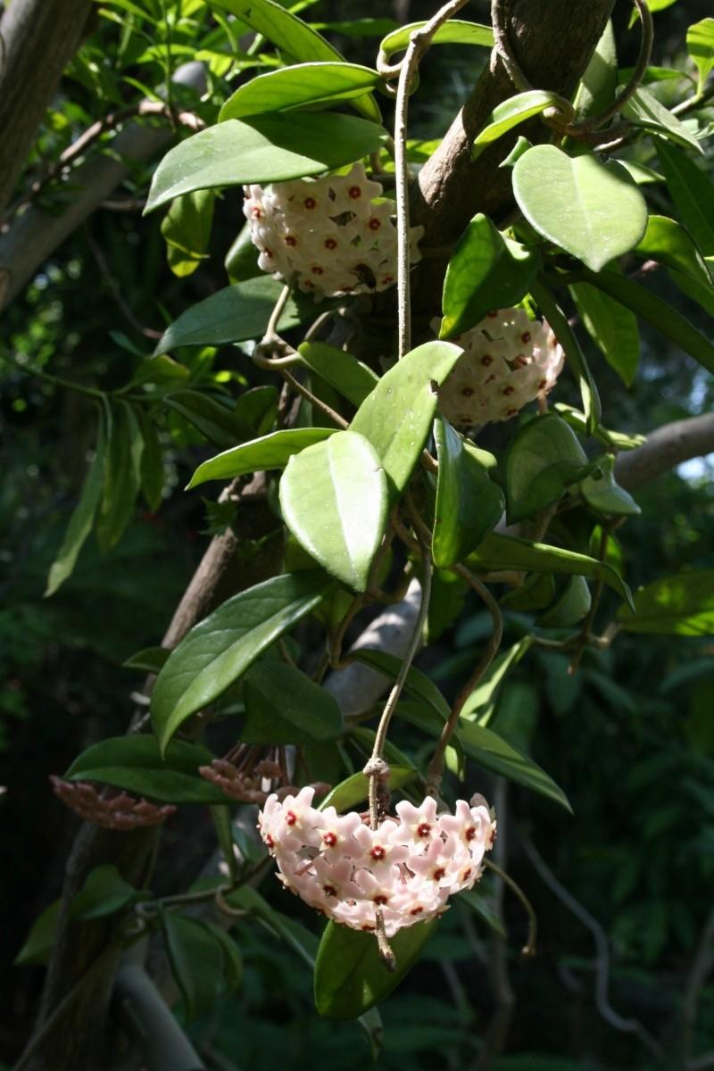 Hoya carnosa au naturel Hoya_c17