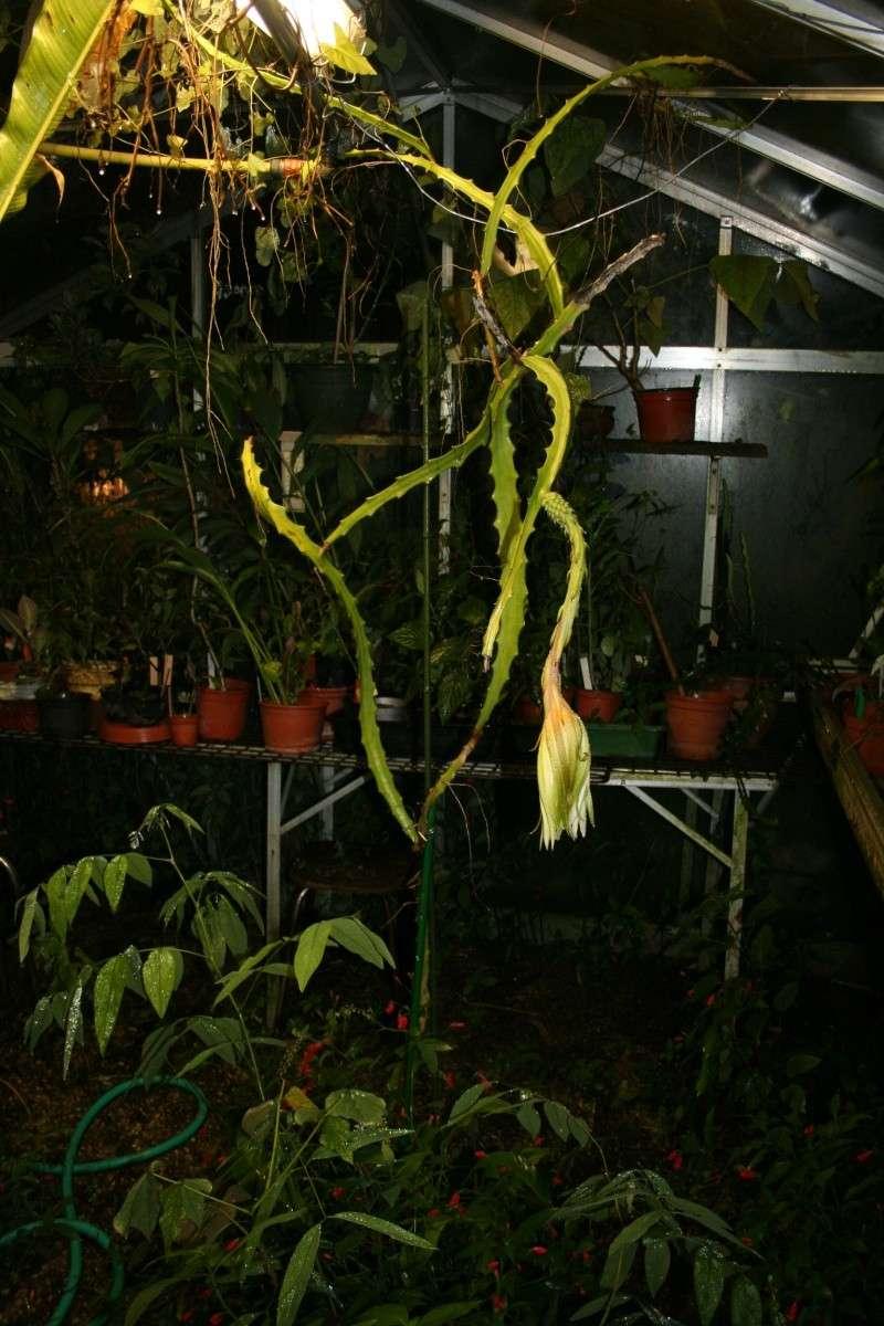 J'ai loupé la floraison de mon Hylocereus megalanthus Hyloce11