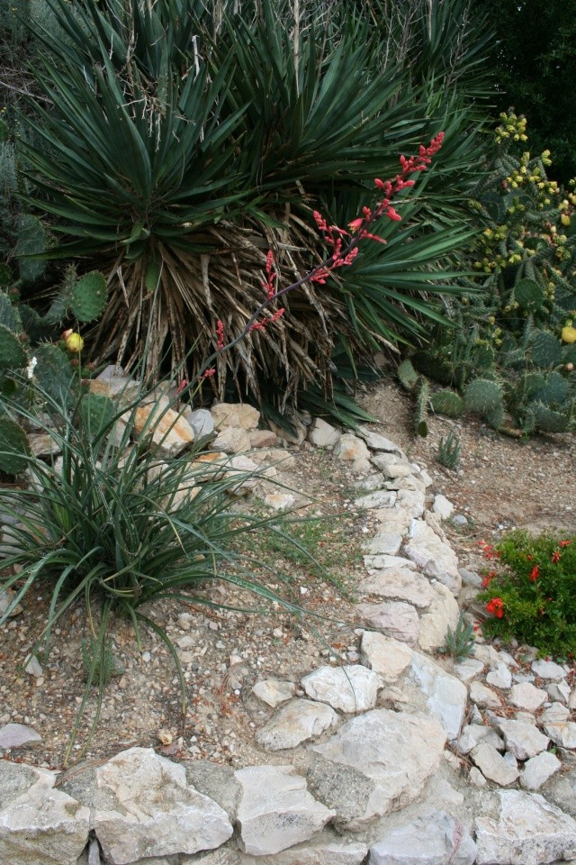 Une dernière, une succulente, cette fois ( Identifiée : Hesperaloe parviflora ) Img_1912