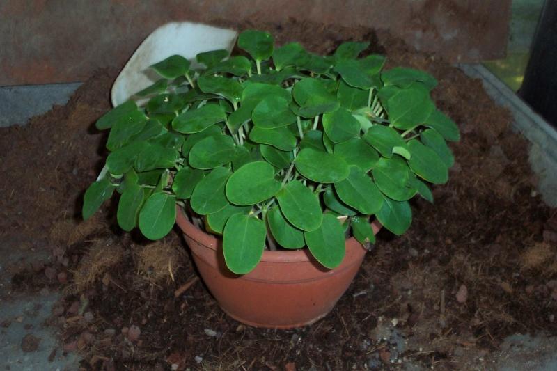 jatropha podagrica Jatrop25