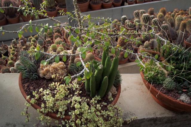 Exemples de coupes de succulentes au Jardin Exotique de Monaco Je_de_10
