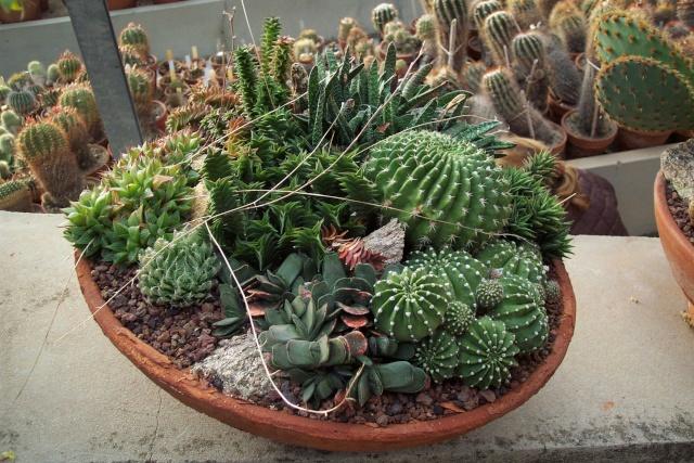Exemples de coupes de succulentes au Jardin Exotique de Monaco Je_de_11