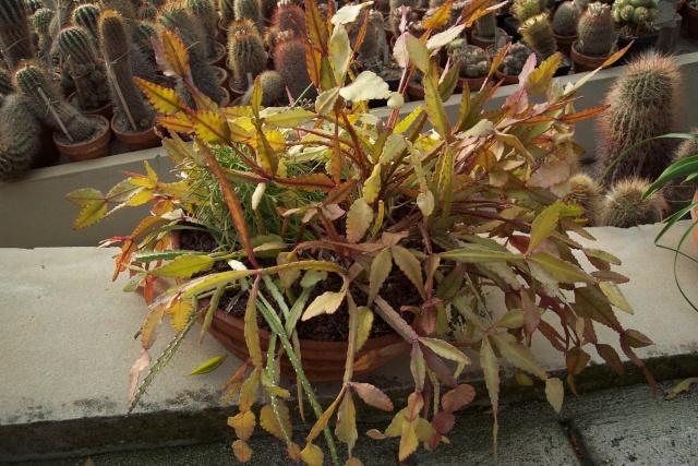 Exemples de coupes de succulentes au Jardin Exotique de Monaco Je_de_12