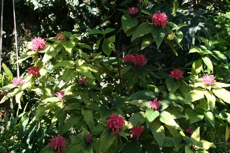 Justicia carnea, splendeur de juillet dans mon jardin Justic40