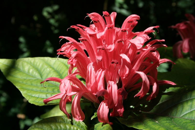 Justicia carnea, splendeur de juillet dans mon jardin Justic41