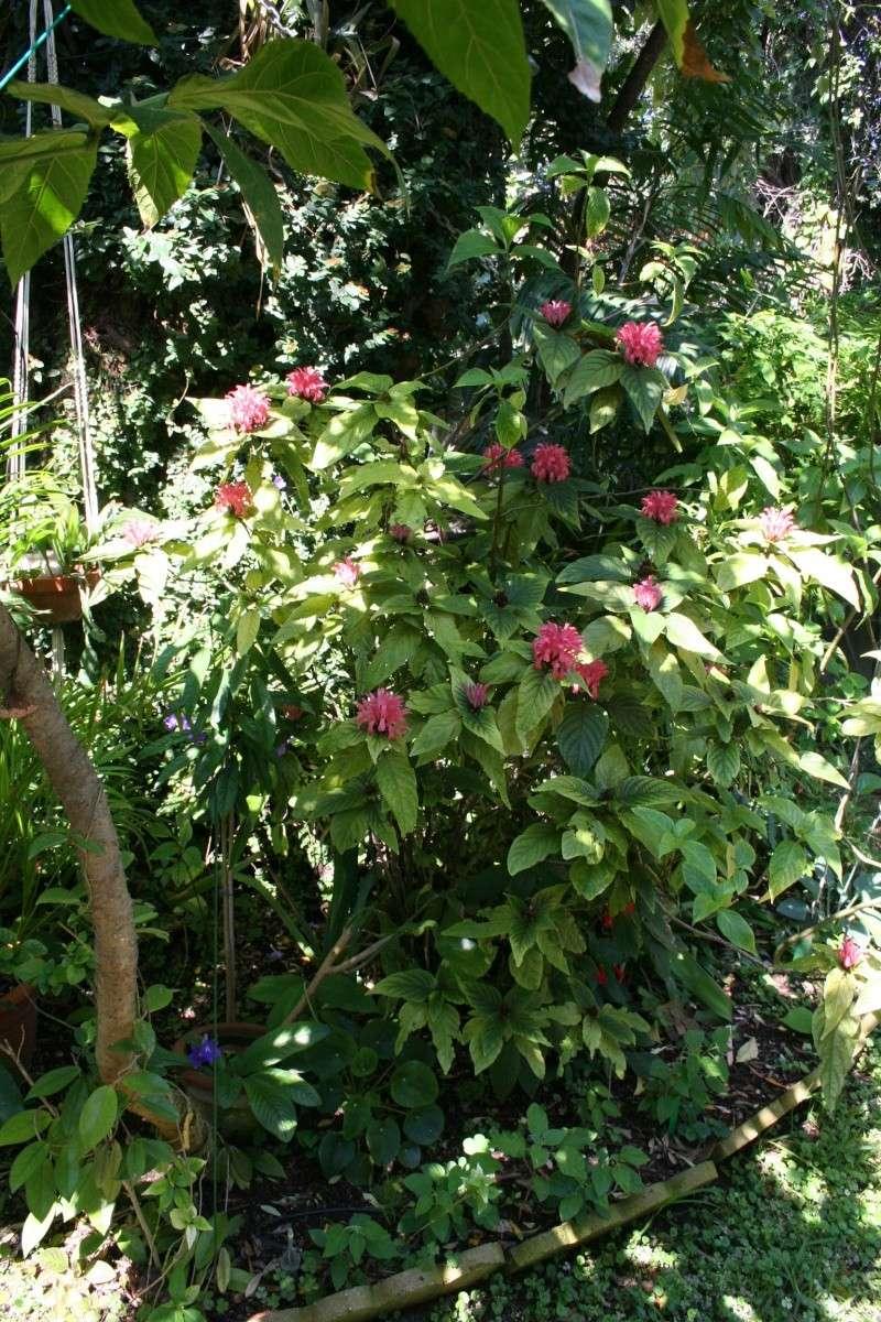 Justicia carnea, splendeur de juillet dans mon jardin Justic42