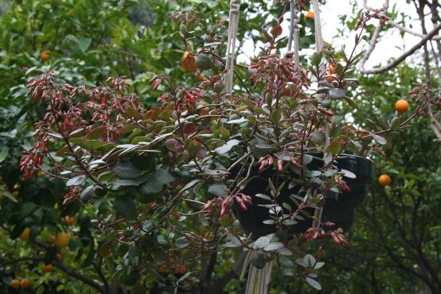 Début de floraison des Kalanchoe Kalanc12