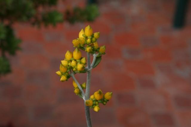 Début de floraison des Kalanchoe Kalanc13