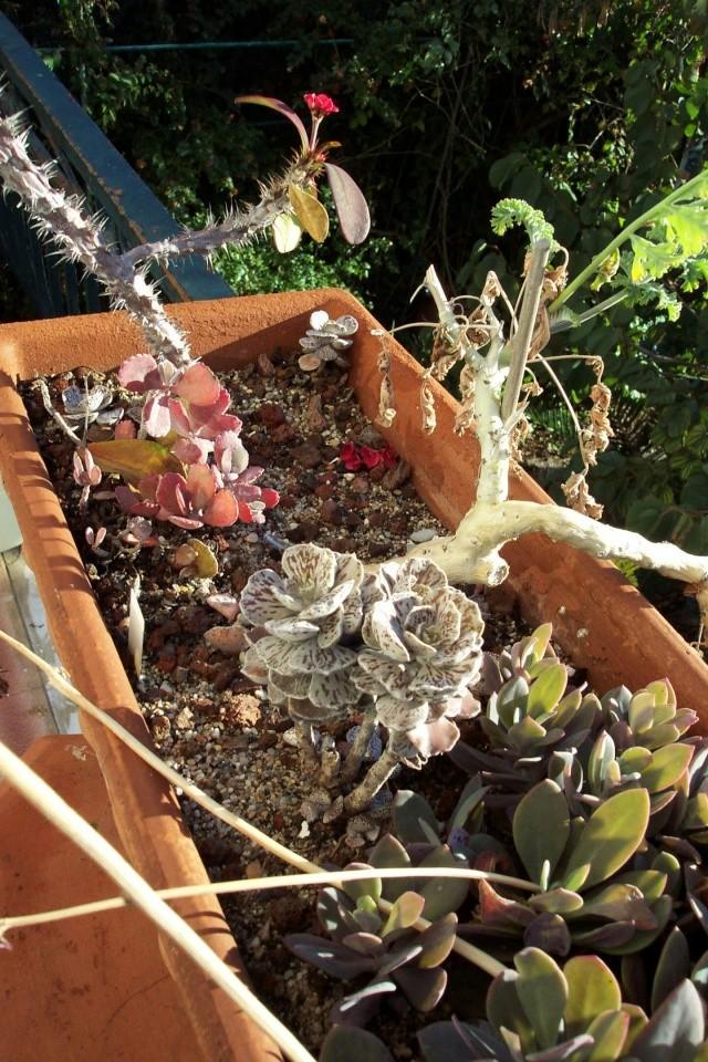 Début de floraison des Kalanchoe Kalanc14