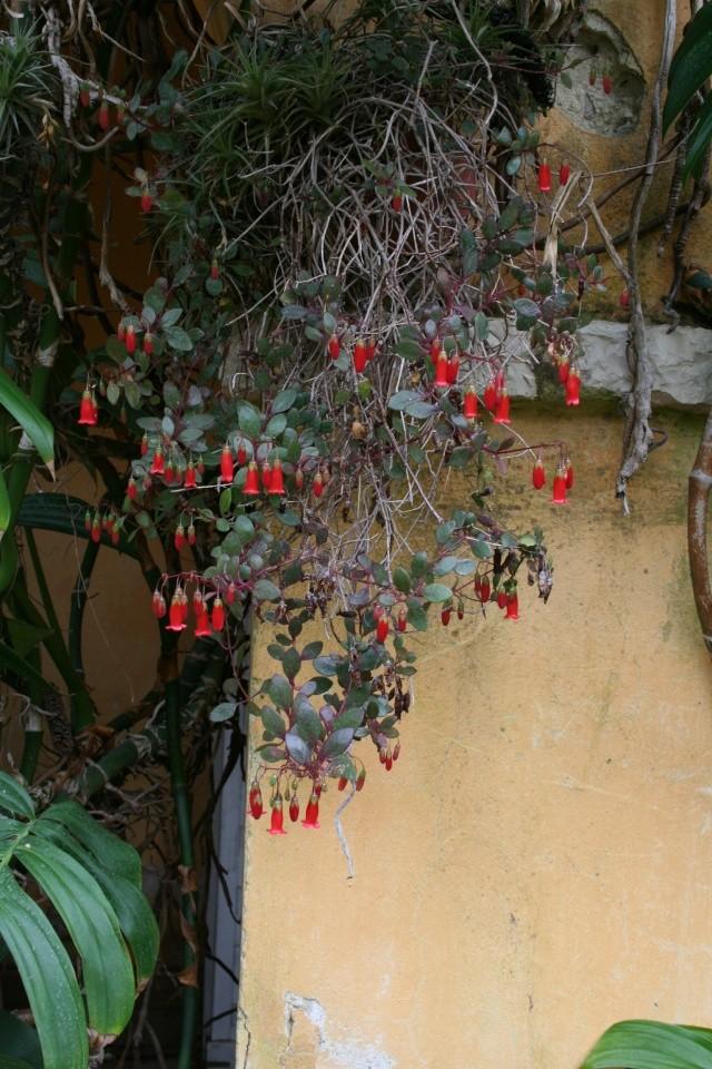 Début de floraison des Kalanchoe Kalanc15
