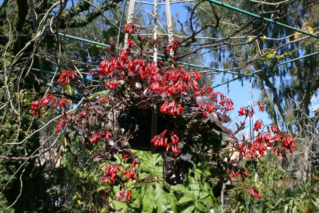 Début de floraison des Kalanchoe Kalanc19