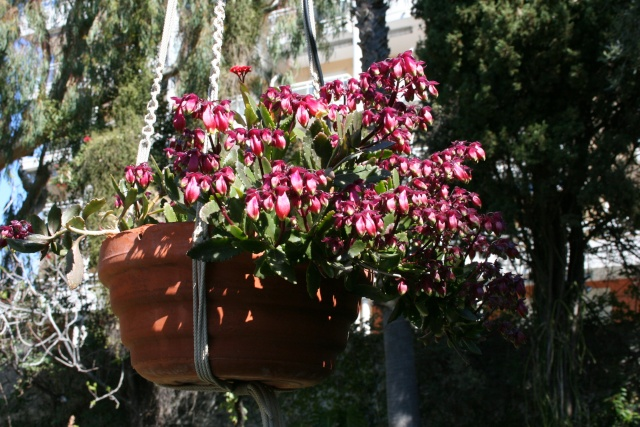 Début de floraison des Kalanchoe Kalanc20