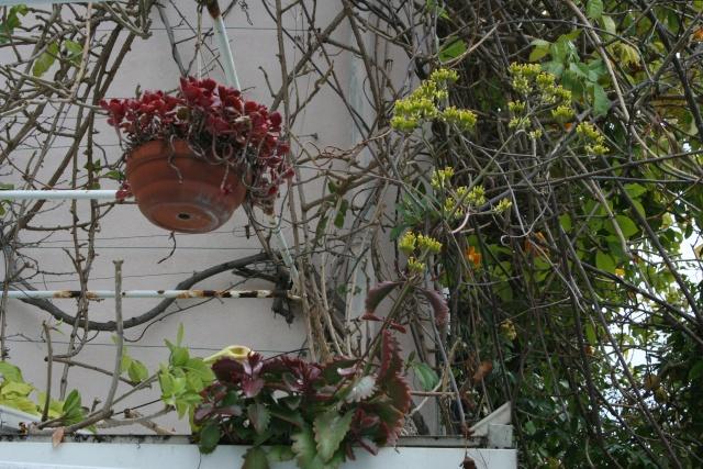 Début de floraison des Kalanchoe Kalank11